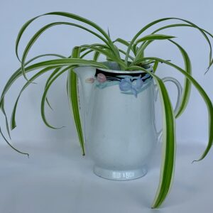 Spider plant in small porcelain pitcher